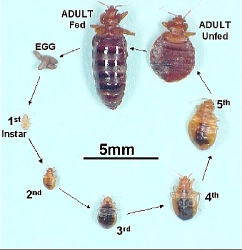 The bed bug life cycle