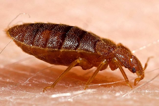 Bed bug on the skin