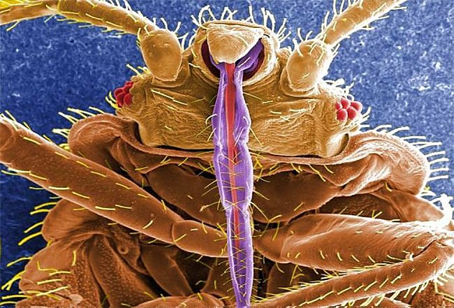 Close up of bed bug head