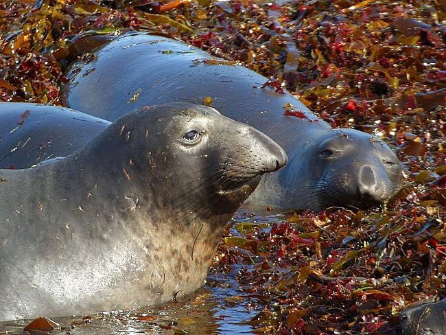 Elephant seal are outstanding divers. Learn how they do it here