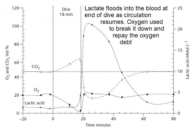 Lactate accumulated in the muscles from anaerobic metabolism, flows into the blood at the end of the dive.