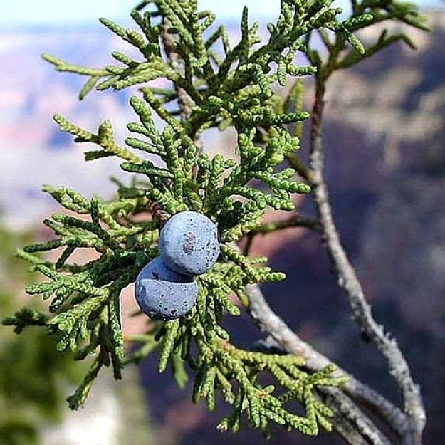 Juniper Berries are cones rather than a true berry