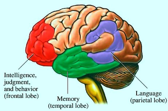 The location of the memory center in the brain