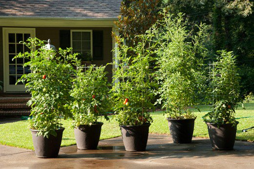 Large trees and shrubs in small pots are inevitably root bound and are not a good buy at nurseries for transplanting in your garden